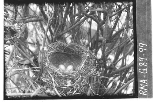 Song thrush nest, Duddingston.
