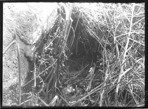 Hedge sparrow's nest, Crinan.