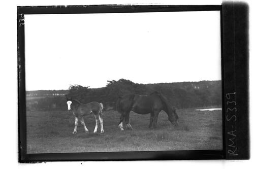 Horse and foal, Whim Pond.