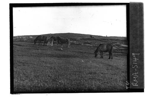 Native ponies, Mingulay