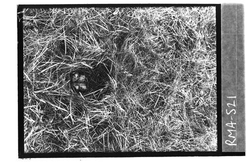 Nest of Common Snipe, Whim.