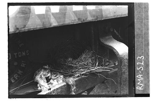 Blackbird nest, Granton.