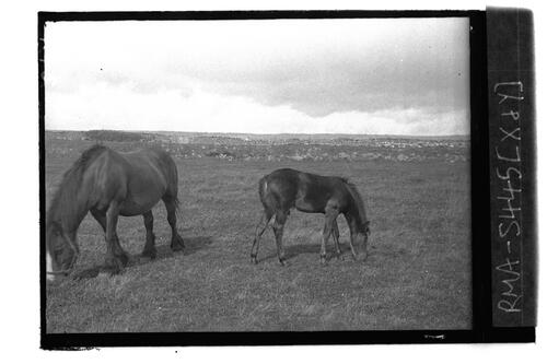 [Mare] and foal, Barnton Farm.