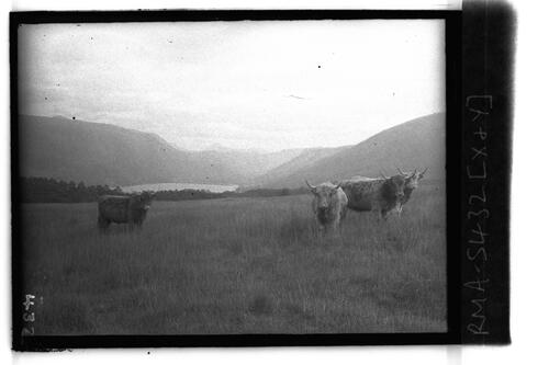 Highland Cattle, Stob an Eas.