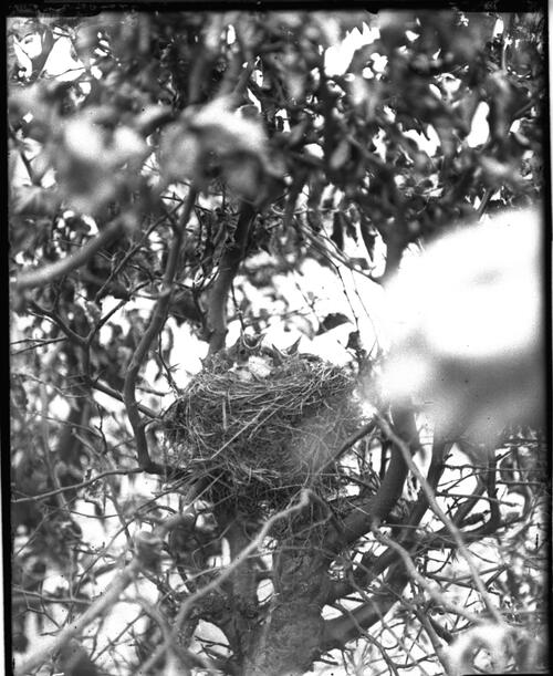 Thrush nest, Whitrigbog, Melrose
