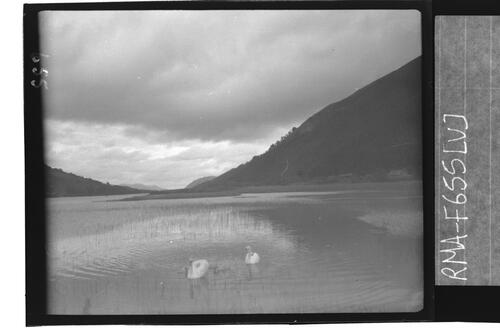 Swans at Loch Oich.