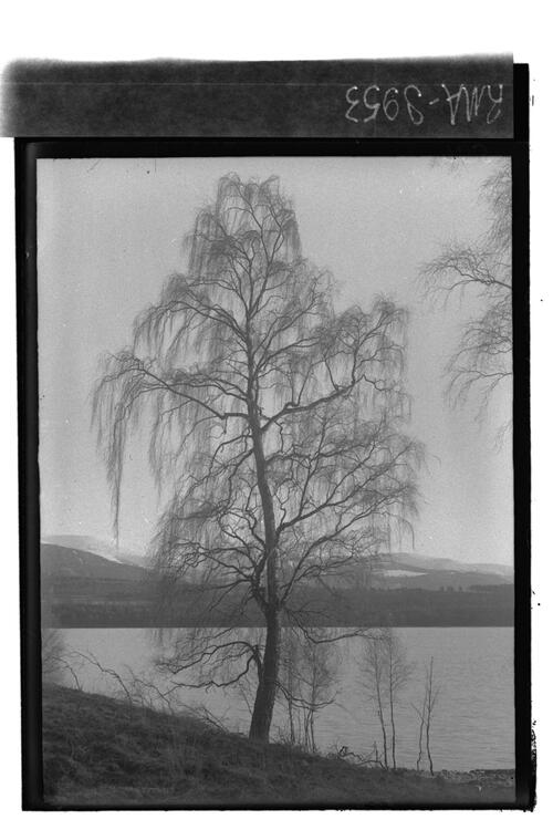 Birch tree, Loch Insh.