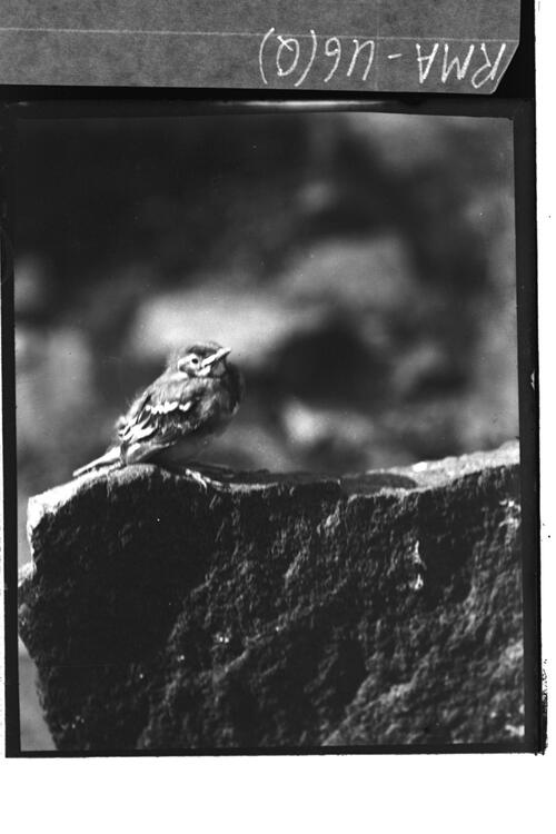 Young bird on rock.