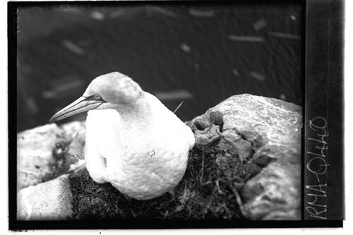 Gannet on nest, Bass Rock.