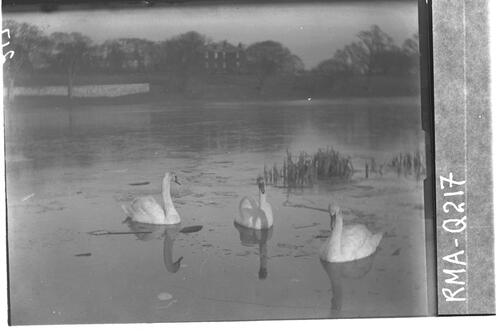 Swans at Duddingston Loch.