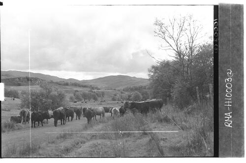 Highland herd near Glen Doe.