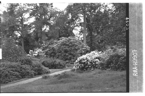 Rhododendrons, Brodick Castle.