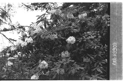 Rhododendron Lindleyi, Brodick.