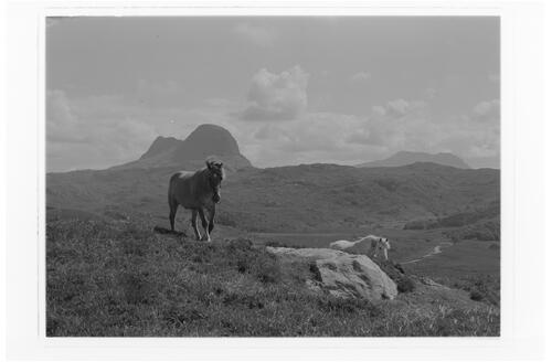 Suilven with Highland Ponies.