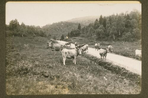 [Norwegian] Cattle.
