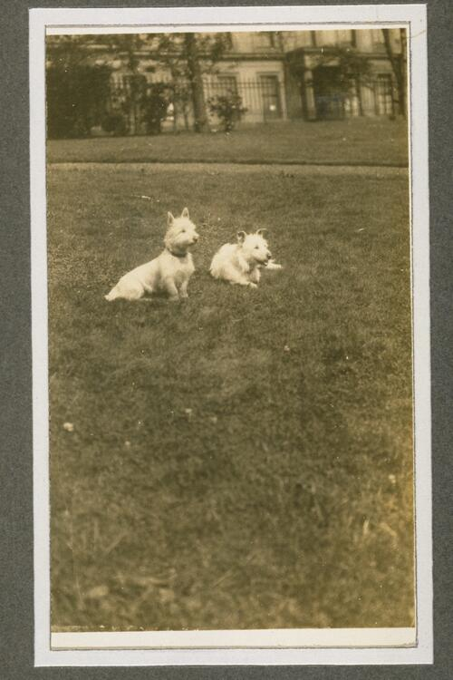 West Highland Terriers, ?London.