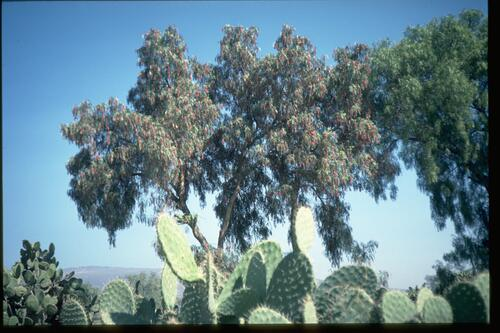 Teotihuacan, Red pepper tree.